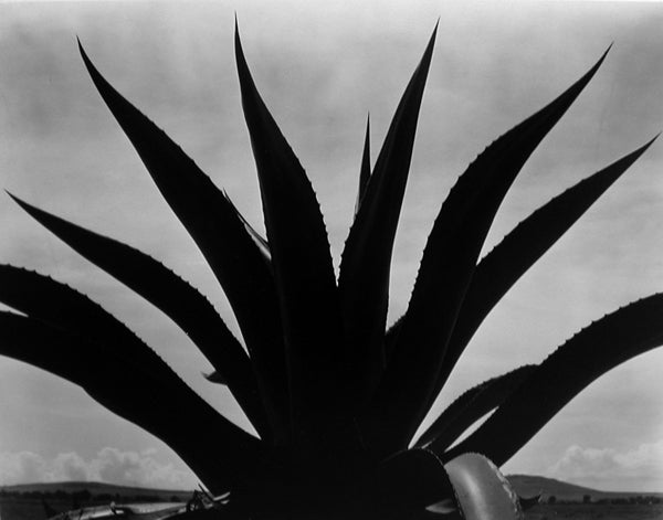 Edward Weston - Maguey Cactus, Mexico 1926 1