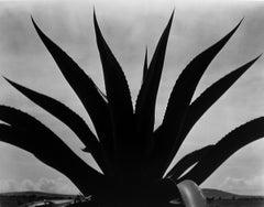 Maguey Cactus, Mexico 1926