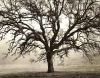 Blue Oak, Black Butte