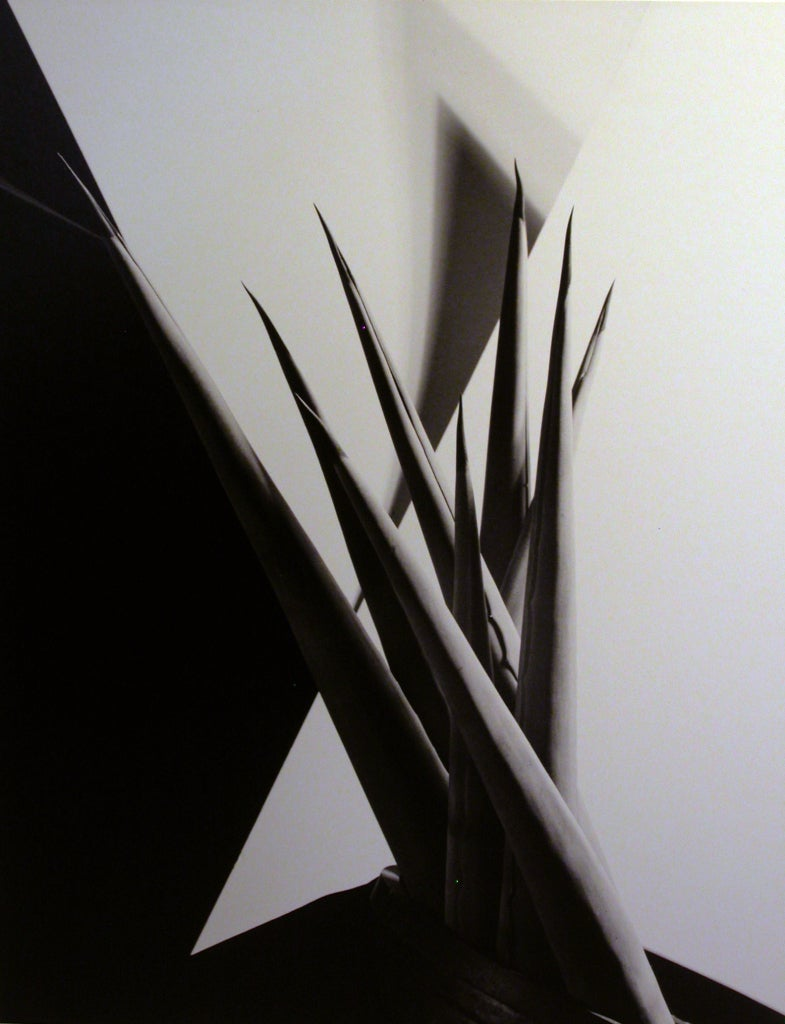 Imogen Cunningham Still-Life Photograph - Agave Design I