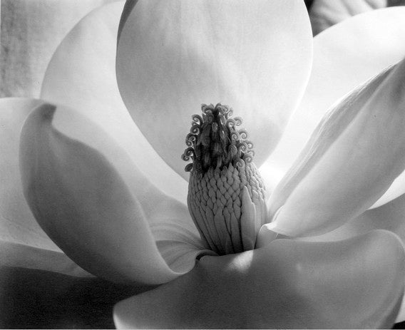 Magnolia Blossom - Gray Black and White Photograph by Imogen Cunningham
