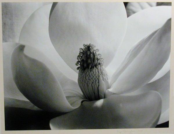 Imogen Cunningham Magnolia Blossom At 1stdibs