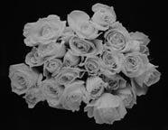 Large Rose Buds, Carmel, CA 2001 2
