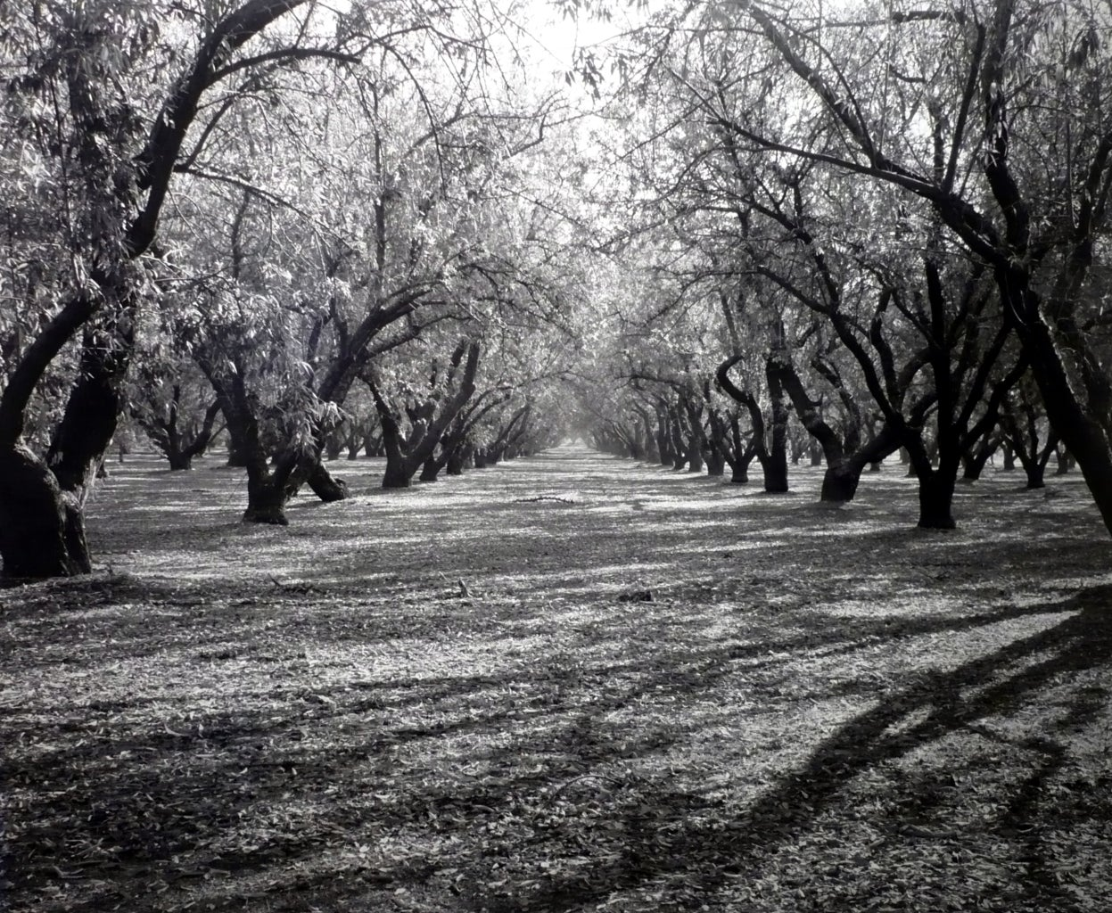 Rod Dresser Black and White Photograph - Almond Grove