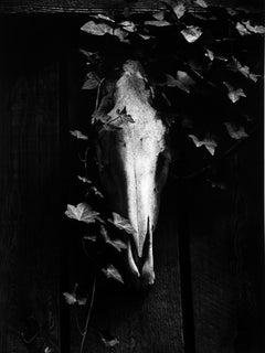 Horse Head Skull