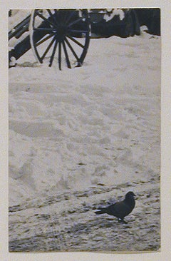 Pigeon in Snow
