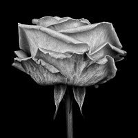 Pink Rose, Study III
