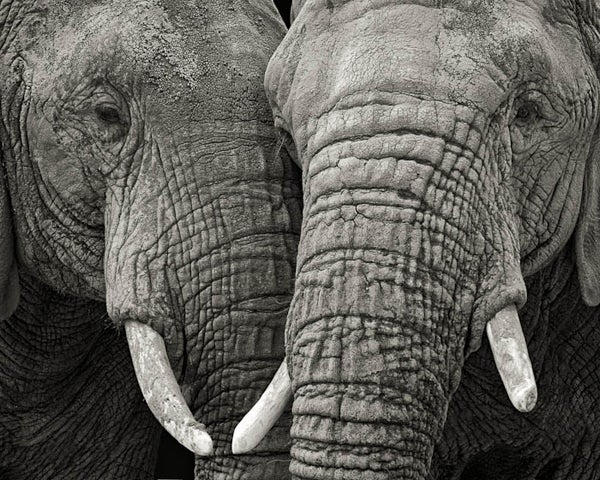 Paul Coghlin Black and White Photograph - Two Elephants