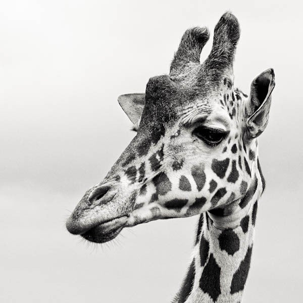 Paul Coghlin Black and White Photograph - Giraffe II