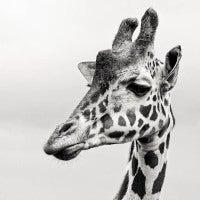 Giraffe II