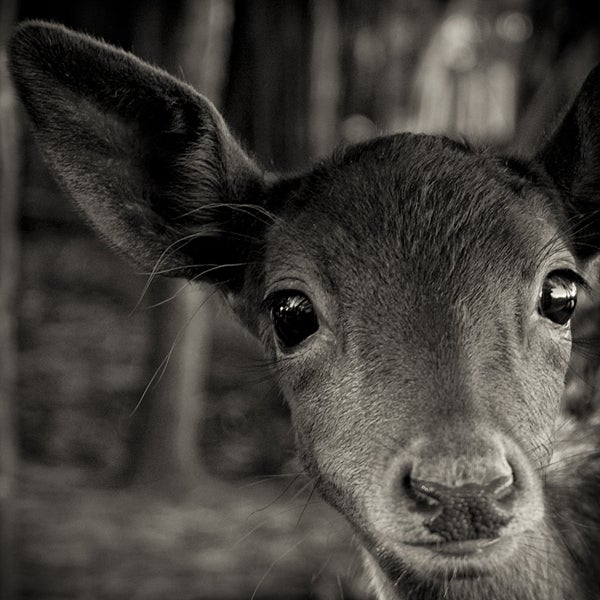 Paul Coghlin Black and White Photograph - Inquisitive Fawn