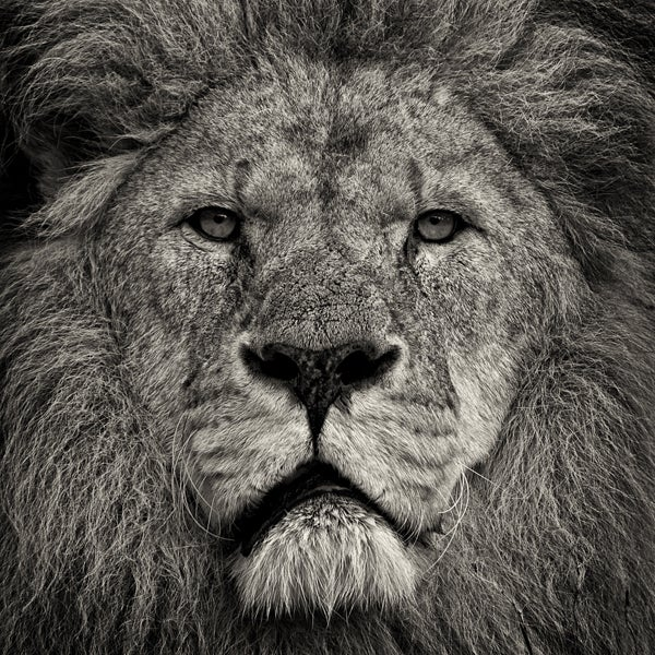 Paul Coghlin Black and White Photograph - Lion's Stare II