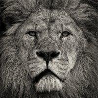 Lion's Stare II