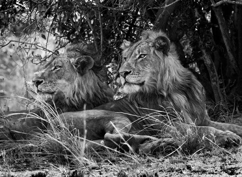 Kafue National Park, Zambia [lion-two brothers]