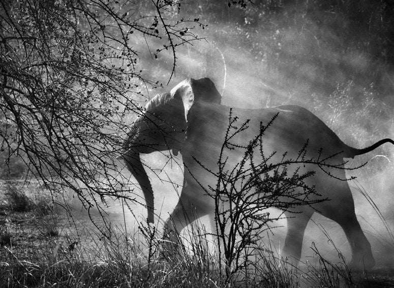Kafue National Park, Zambia [elephant] - Photograph by Sebastião Salgado
