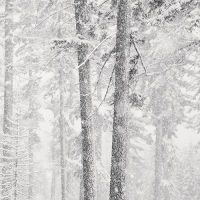 Two Trees and Falling Snow