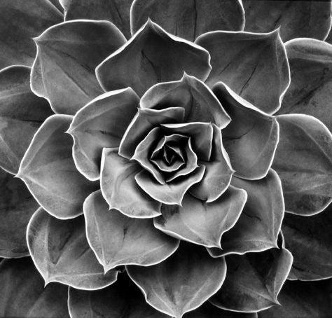 Succulent: Echeveria Subrigida Hybrid, California
