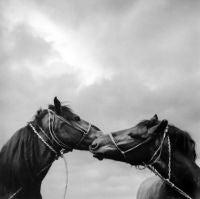 Untitled (Horses Kissing)