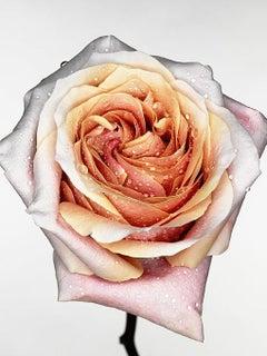 Pink rose (A)