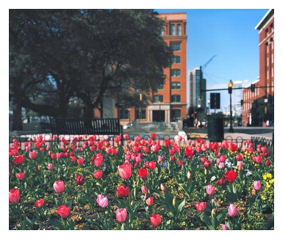 Facing School Book Depository (Tulips), Houston St., Dallas, TX