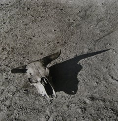 The Bleached Skull of a Steer on the Sun-Baked Earth of South Dakota Badlands