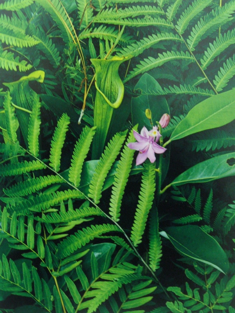 Bog Orchids, Pitcher Plants, Bay and Ferns, Big Thicket, Texas