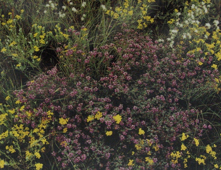 Jim Bones Color Photograph - Purple Loco, Yellow Paper Daisy, White Dematis, Davis, Mountains, Texas