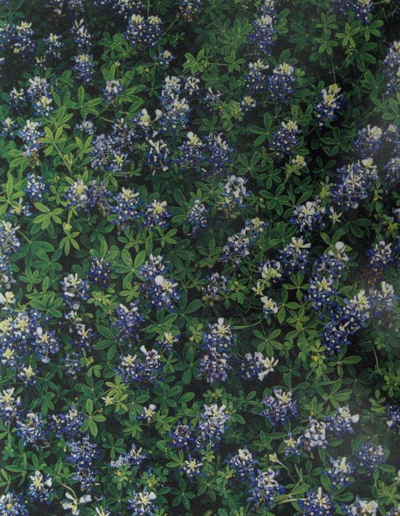 Bluebonnets, Spicewood Springs, Texas