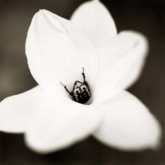 Beetle on Rain Lily