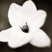 Beetle on Rain Lily