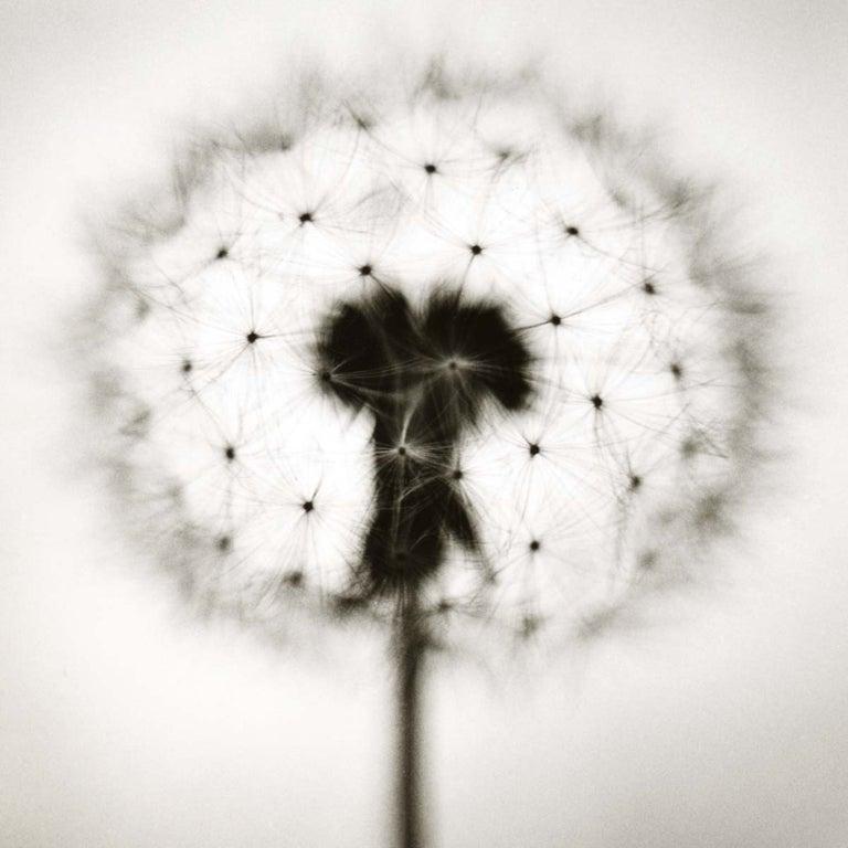 David Johndrow Black and White Photograph - Dandelion No. 2