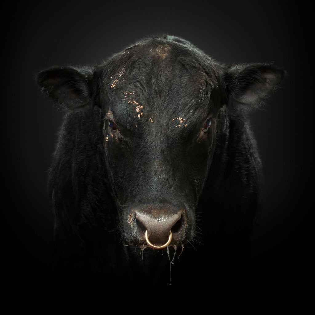 Randal Ford Black Bull Photograph At 1stdibs