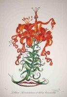 Lilium Aurancacium et Labra Basrocantis (Tiger Lilies of the Theatre)