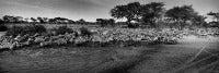 Photography - Trio of Zebra Art Photos - Migration of Zebras (Award winning) etc