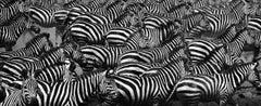 """Zebras - Camouflage"" (wildlife art photography)"