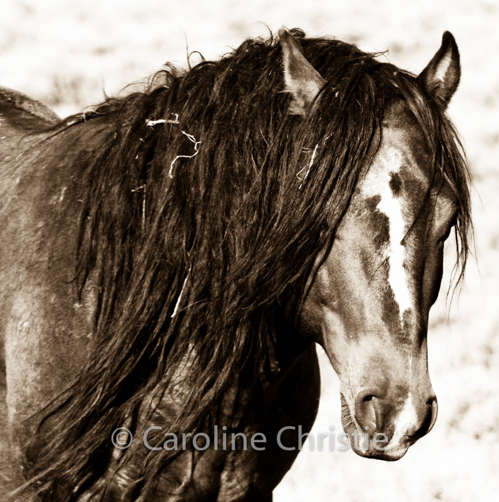 Caroline Christie Black and White Photograph - Stallion