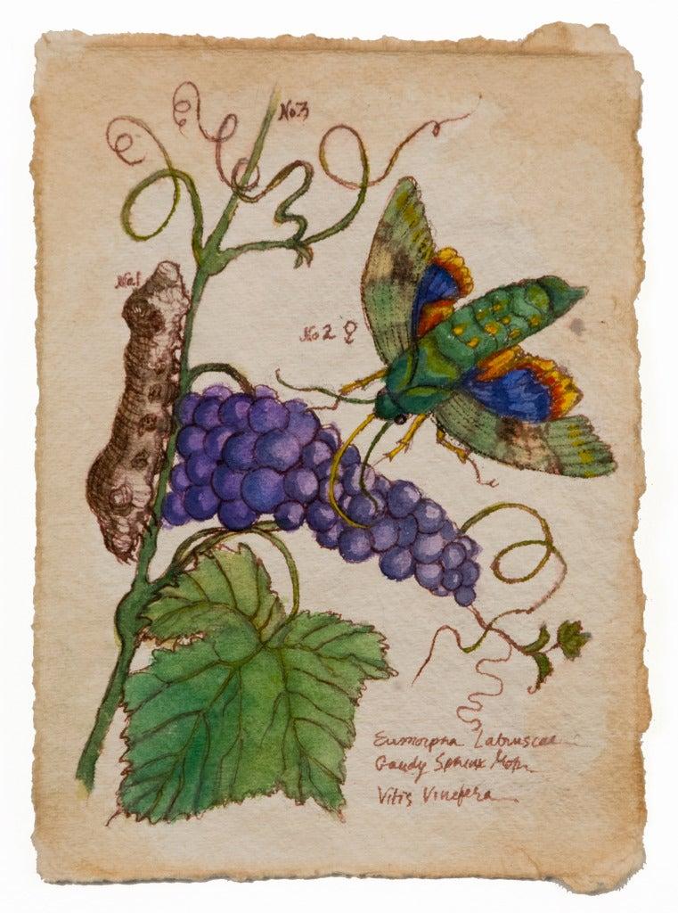 Ruth Bauer Animal Art - Candy Sphinx Moth