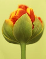 Ron van Dongen - Tulipa 'Cilesta,' 2008 (CSL260)