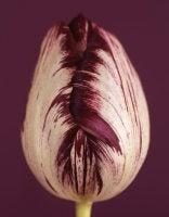 Ron van Dongen - Tulipa 'Insulinde' VIII, 2009 (CSL415)