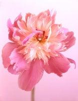 Paeonia 'Cameo Rose,' 2009 (CSL421)