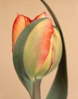 Ron van Dongen - Tulipa 'American Dream,' 2010 (CSL469)