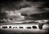 Elephant Herd, Serengeti, 2001