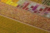 Flower Fields, Lompoc, California, USA, 2013