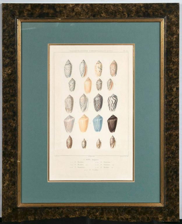 Pair of framed hand-colored Engravings of Sea Shell, France, circa 1850. These prints are from the major 19th century reference work on shells, Illustrations Conchyliologiques by Jean-Charles Chenu. The prints are finely detailed and retain original