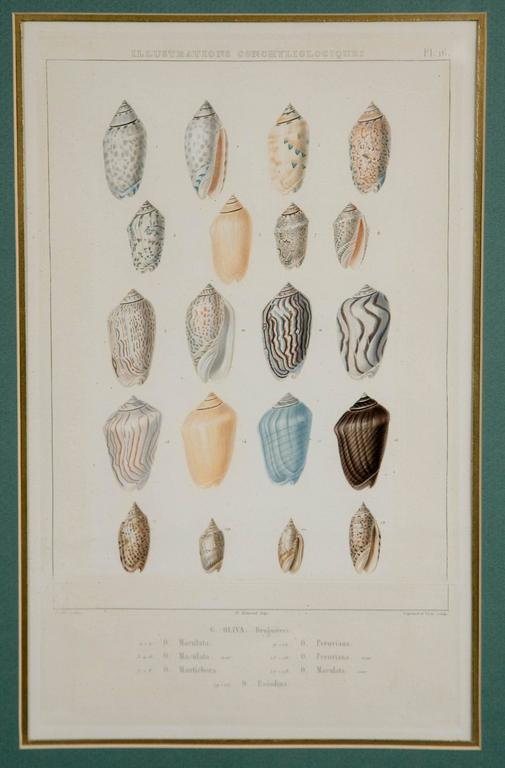 French Pair Framed Hand-Colored Engravings of Sea Shells, France, circa 1850 For Sale