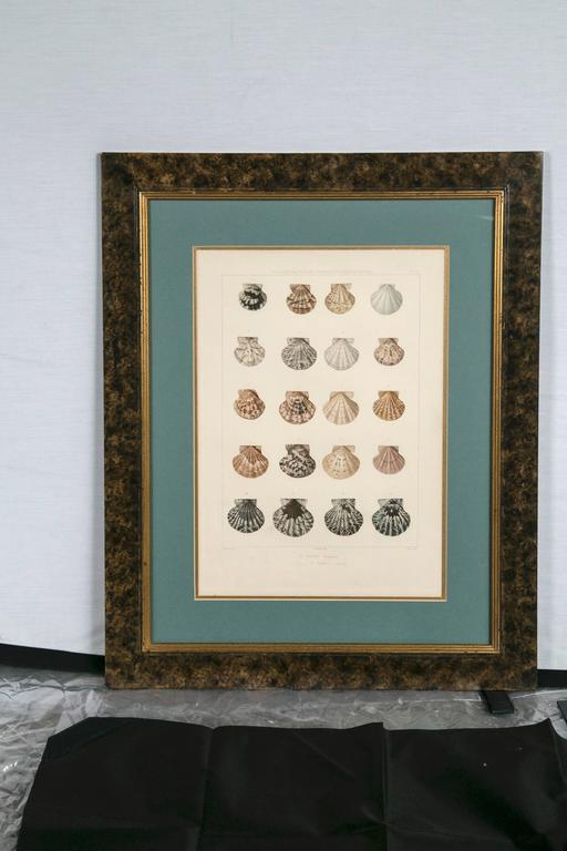 Pair Framed Hand-Colored Engravings of Sea Shells, France, circa 1850 In Good Condition For Sale In Chappaqua, NY