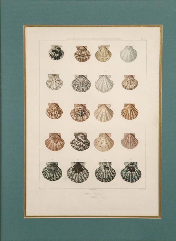 19th Century Pair Framed Hand-Colored Engravings of Sea Shells, France, circa 1850 For Sale