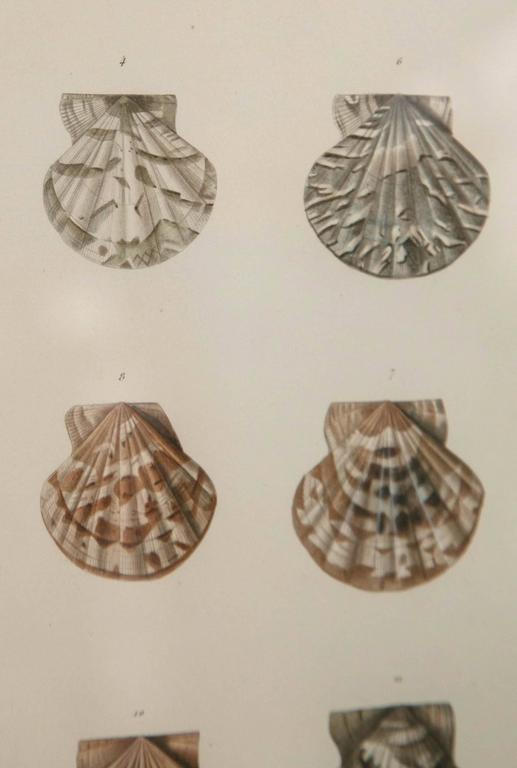 Paper Pair Framed Hand-Colored Engravings of Sea Shells, France, circa 1850 For Sale