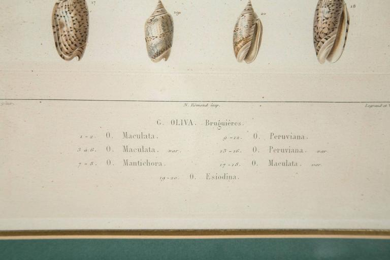 Pair Framed Hand-Colored Engravings of Sea Shells, France, circa 1850 For Sale 2