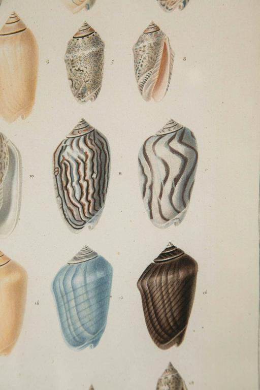 Pair Framed Hand-Colored Engravings of Sea Shells, France, circa 1850 For Sale 3